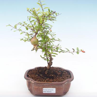 Pokojová bonsai-PUNICA granatum nana-Granátové jablko PB2192049 - 4
