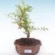 Pokojová bonsai-PUNICA granatum nana-Granátové jablko PB2192049 - 4/4