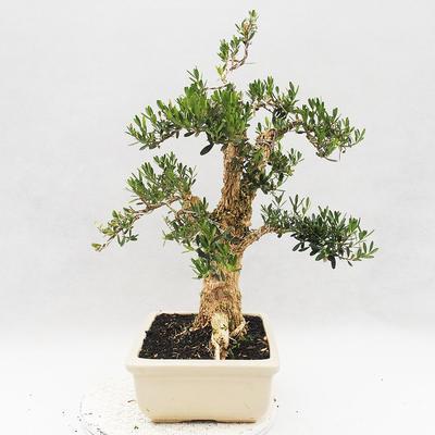 Izbová bonsai - Buxus harlandii - korkový buxus - 4