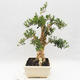 Izbová bonsai - Buxus harlandii - korkový buxus - 4/7
