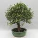 Izbová bonsai -Eleagnus - hlošina - 4/6