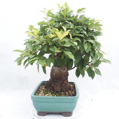 Vonkajší bonsai -Malus halliana - Maloplodé jabloň - 4