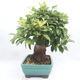 Vonkajší bonsai -Malus halliana - Maloplodé jabloň - 4/6
