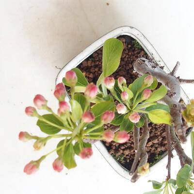 Venkovní bonsai - Malus sargentii -  Maloplodá jabloň - 4