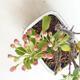 Venkovní bonsai - Malus sargentii -  Maloplodá jabloň - 4/4