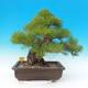 Venkovní bonsai - Pinus thunbergii - Borovice thunbergova - 4/6