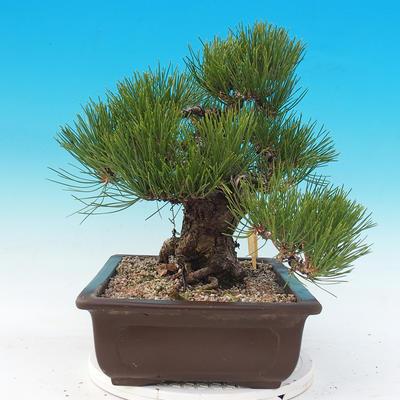 Vonkajšie bonsai - Pinus thunbergii - Borovica thunbergova - 4