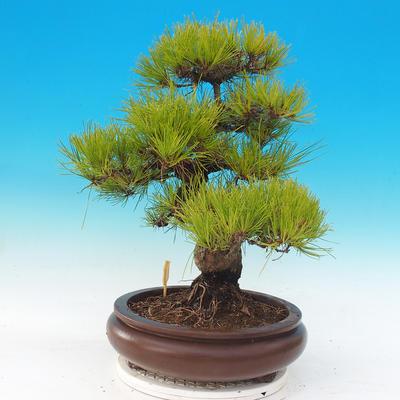 Venkovní bonsai - Pinus densiflora - borovice červená - 4