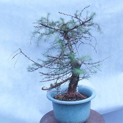 Yamadori - Modřín opadavý - Larix decidua - 4