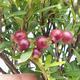 Pokojová bonsai - Syzygium - Pimentovník - 4/4