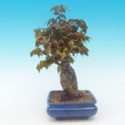 Shohin - Javor-Acer burgerianum na skale - 4