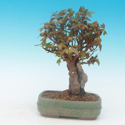 Shohin - Javor-Acer burgerianum na skále - 4