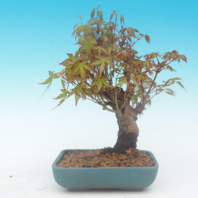 Shohin - Javor-Acer palmatum - 4