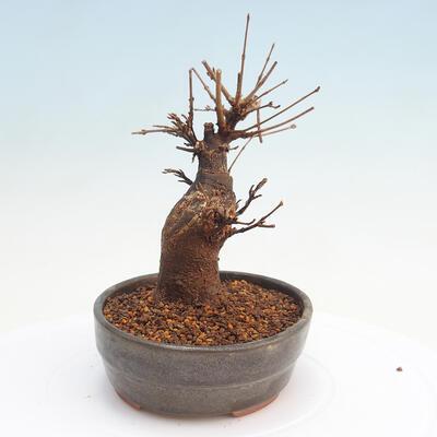 Vonkajšie bonsai - Javor Buergerianum - Javor Burgerův - 4