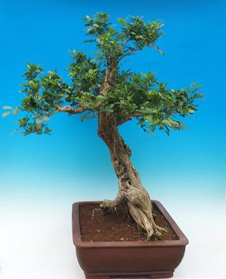 Izbová bonsai- Muraya paniculata - 4