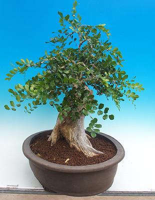 Pokojová bonsai - Muraya paniculata - 4