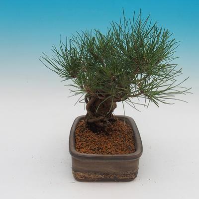 Pinus thunbergii - borovica thunbergova - 4