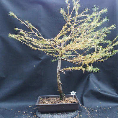 Yamadori - Smrekovec opadavý - Larix decidua - 4