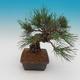 Pinus thunbergii - Borovice thunbergova - 4/4