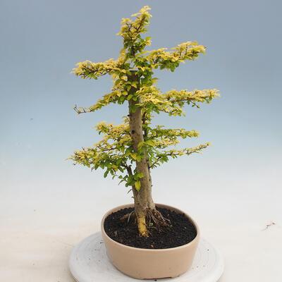 Izbová bonsai - Ligustrum Aurea - Vtáčí zob - 4