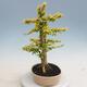 Izbová bonsai - Ligustrum Aurea - Vtáčí zob - 4/6