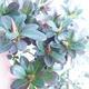 Venkovní bonsai - Rhododendron sp. - Azalka růžová - 4/4