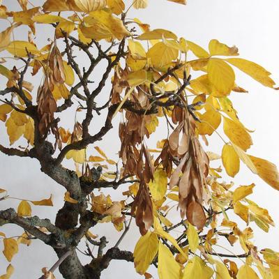 Venkovní bonsai - Javor jasanolistý - Acer negundo - 4