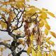 Venkovní bonsai - Javor jasanolistý - Acer negundo - 4/4