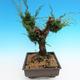 Yamadori Juniperus chinensis - jalovec - 4/5