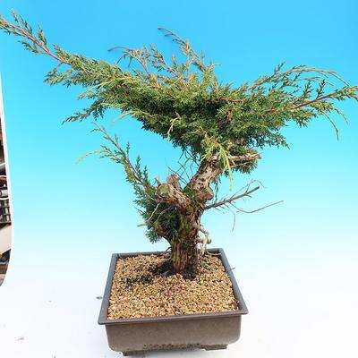 Yamadori Juniperus chinensis - jalovec - 4