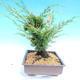 Yamadori Juniperus chinensis - jalovec - 4/6