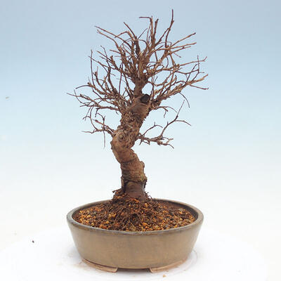 Vonkajšie bonsai - Zelkova - Zelkova Nirom - 4