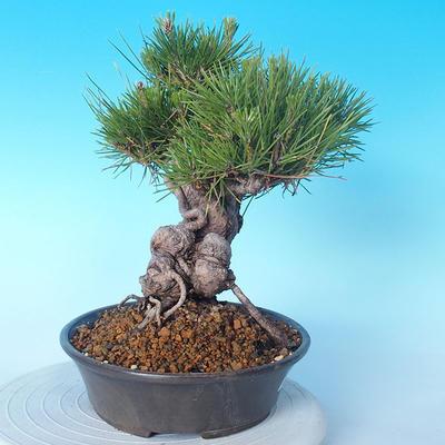 Pinus thunbergii - Borovice thunbergova - 4