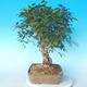 Venkovní bonsai -Carpinus CARPINOIDES - Habr korejský - 4/5