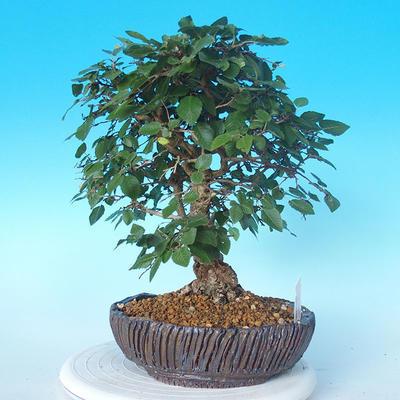 Venkovní bonsai -Carpinus CARPINOIDES - Habr korejský - 4