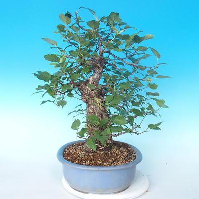 Venkovní bonsai - Japonská hrušeň NASHI - Pyrus pyrifolia - 4