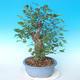 Venkovní bonsai - Japonská hrušeň NASHI - Pyrus pyrifolia - 4/6