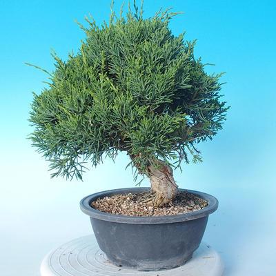 Venkovní bonsai - Juniperus chinensis ITOIGAWA - Jalovec čínský - 4