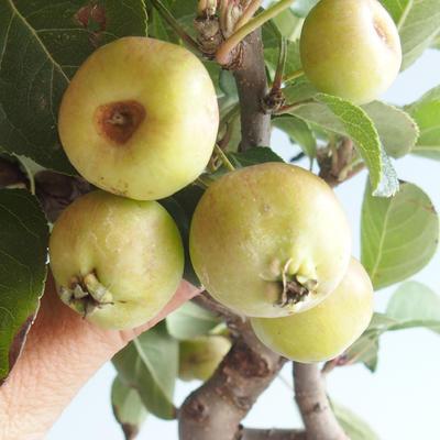 Venkovní bonsai - Malus halliana -  Maloplodá jabloň - 4