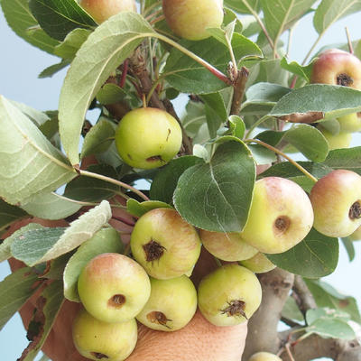 Vonkajšie bonsai - Malus halliana - Maloplodé jabloň 408-VB2019-26765 - 4