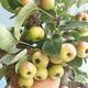 Vonkajšie bonsai - Malus halliana - Maloplodé jabloň 408-VB2019-26765 - 4/4
