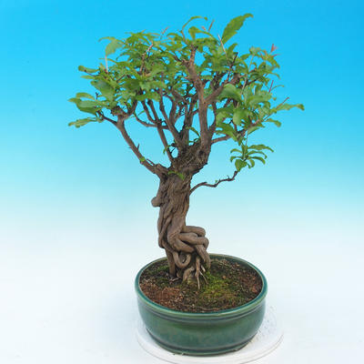 Pokojová bonsai-PUNICA granatum nana-Granátové jablko - 4