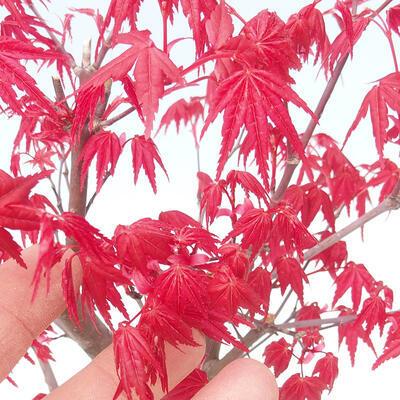 Venkovní bonsai - Javor palmatum DESHOJO - Javor dlanitolistý - 4