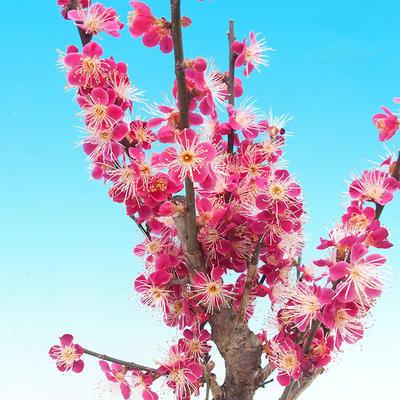 Venkovní bonsai -Japonská meruňka - Prunus Mume - 4