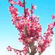 Venkovní bonsai -Japonská meruňka - Prunus Mume - 3/5