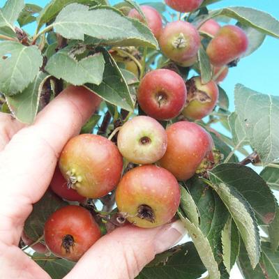 Venkovní bonsai -Malus halliana - Maloplodá jabloň - 4