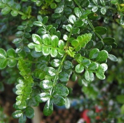 Pokojová bonsai - Zantoxylum piperitum - Pepřovník PB22080 - 4