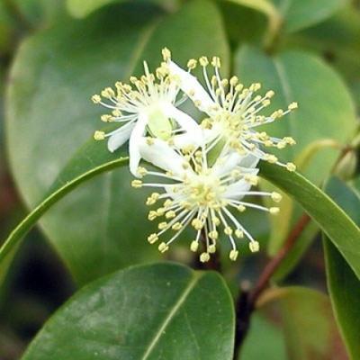 Pokojová bonsai - Australská třešeň - Eugenia uniflora - 4