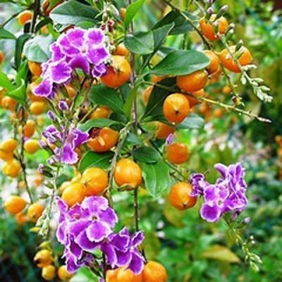 Pokojová bonsai - Duranta erecta Aurea - 4