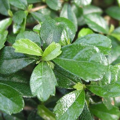 Pokojová bonsai - Carmona macrophylla - Čaj fuki - 4